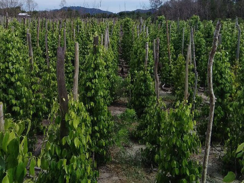 Indonesia White Pepper Agriculture