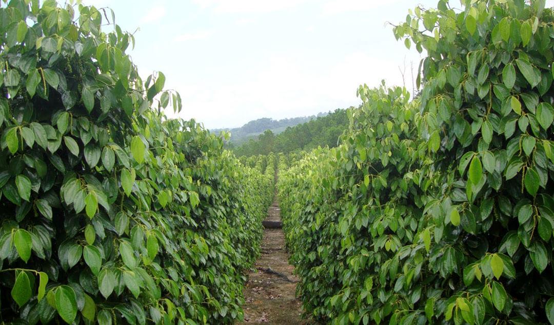 Indonesia White Pepper Plantation